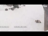 Il panda gigante allo zoo di Toronto: capriole nella neve