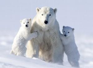 Habitat degli orsi polari minacciato dal fuoco in canada for Cabine marine di grandi orsi