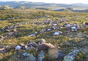 immagine news temporale-strage-record-di-renne-fulmine-ne-ha-ucciso-300