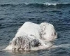 Mostro marino trovato spiaggiato nelle Filippine, metà orso e metà balena