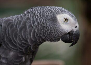 grey parrot 1140551 1280 350x250 - Quando scienza e musica sono sulla stessa lunghezza d'onda