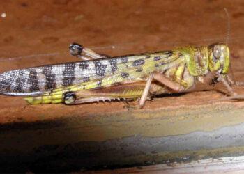 invasione-locuste