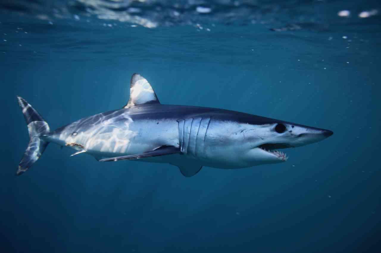 iStock 1126680005 - Uno squalo per pesce spada: la vendita illegale a Catania