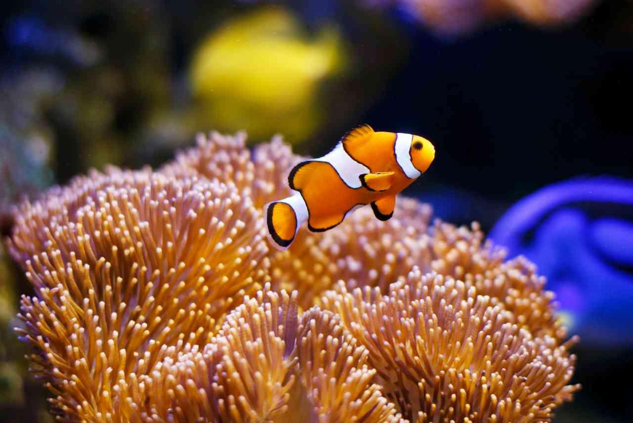 iStock 511594628 - Nemo: l'esemplare vive in acquario per oltre vent'anni