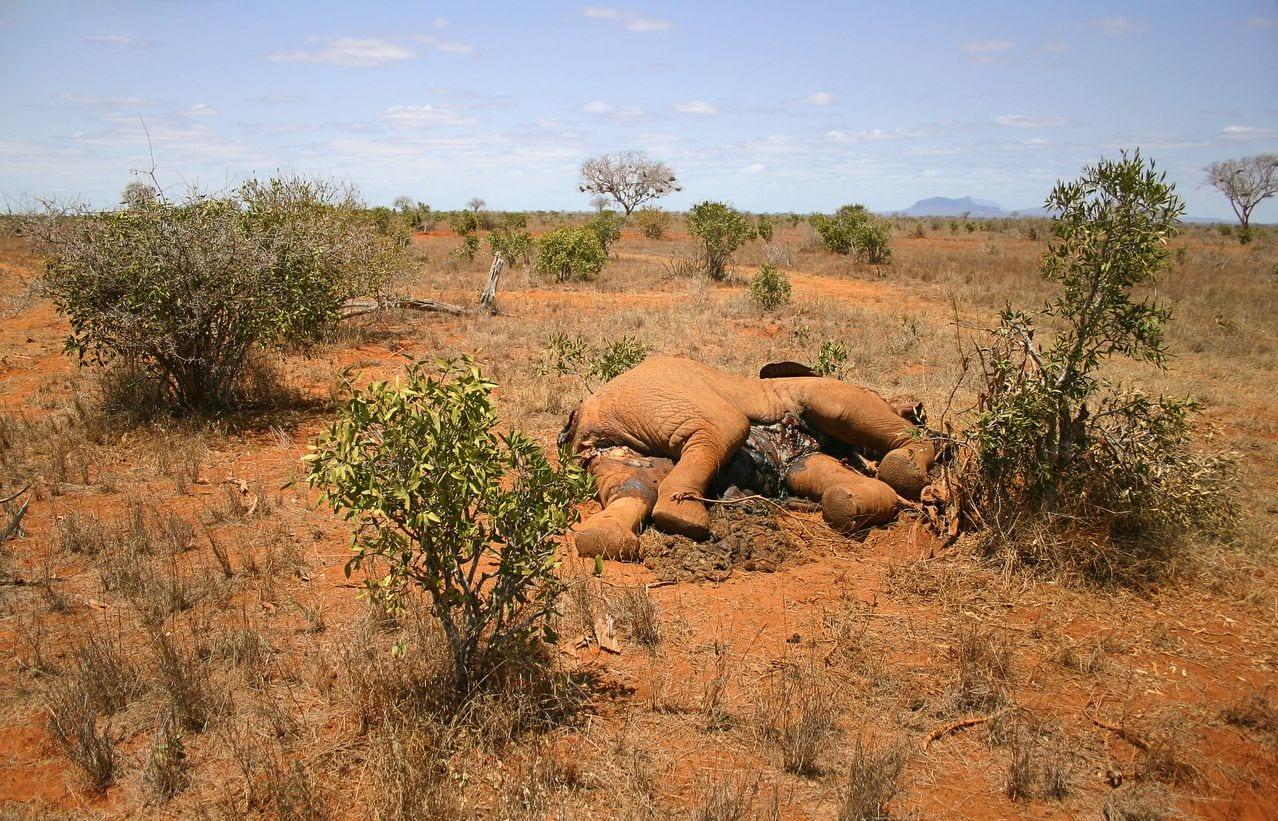 mag1 82 - Centinaia di elefanti muoiono improvvisamente, trovata la misteriosa causa