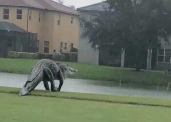 Le dimensioni eccezionali dell'alligatore avvistato in Florida