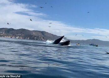balena ingoia canoiste 1 350x250 - Due ragazze in Kayak finiscono dentro la bocca di Balena.