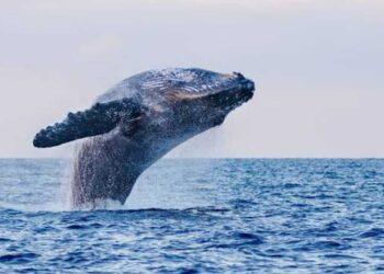 La maestosità di una balenottera azzurra