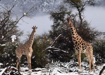 Giraffe e la neve in Sud Africa.