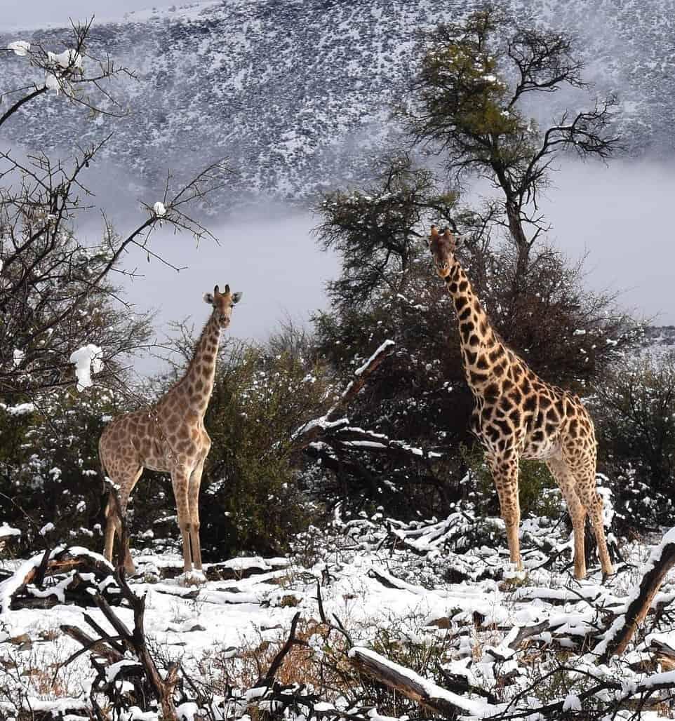 Giraffe e la neve in Sud Africa - Sudafrica, meteo avverso. Gli scorsi giorni la neve caduta sugli altipiani
