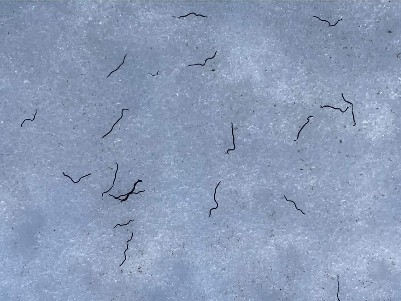 vermi di ghiaccio 1 - I vermi di ghiaccio, mai così tanti. La NASA che ha finanziato un progetto di ricerca